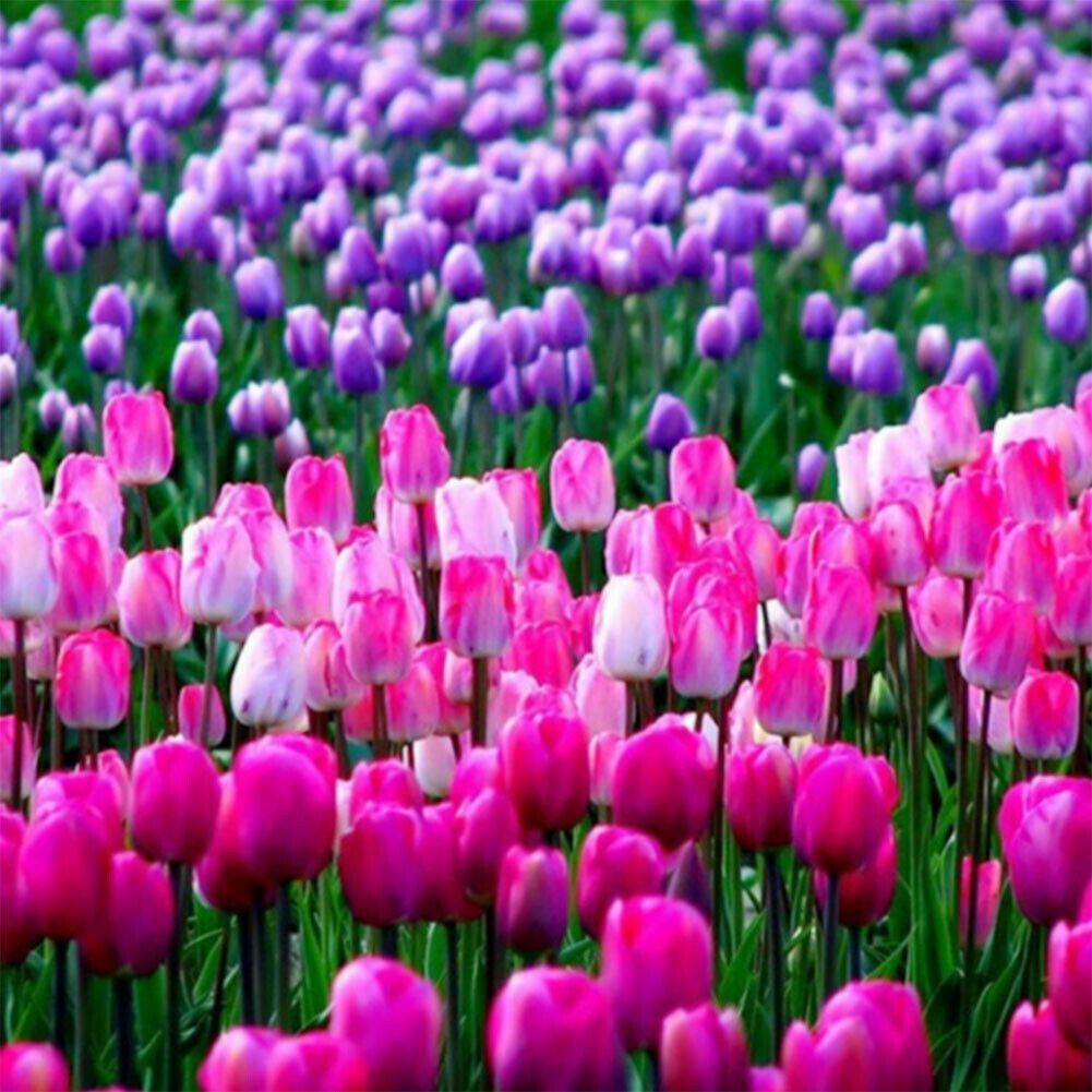Rózsaszín és lila tulipánokból álló mező kreatív gyémántkirakó készlet